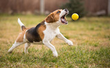 Playing fetch with cute beagle dog poster
