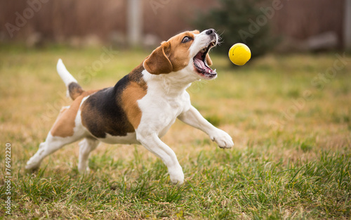 Fototapeten Hunde Playing fetch with cute beagle dog