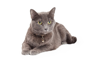 Stunning Grey Domestic Shorthair Cat Laying