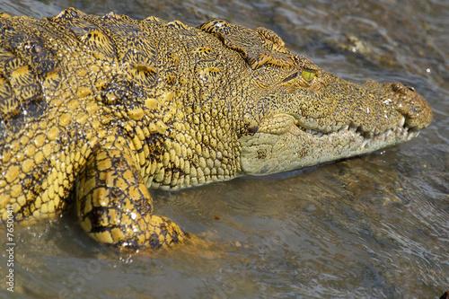 Foto op Plexiglas Krokodil Young crocodile in water
