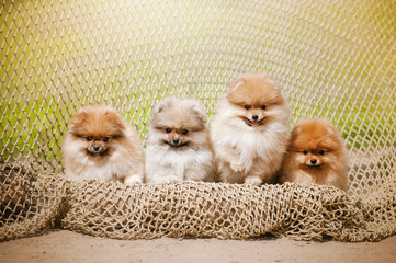 Four Pomeranian puppy Spitz looking at the camera