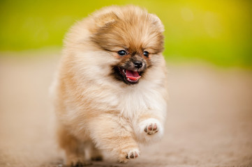 Pomeranian Spitz puppy running and looking at camera