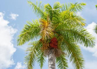 Royal Palm Cuban National Tree