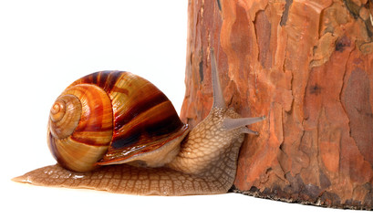 Pine tree and snail