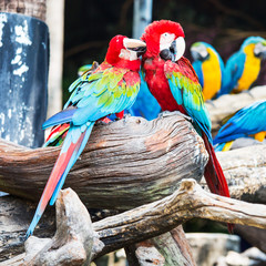 Pair of colorful Macaws parrots.They were teasing each other.