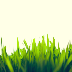 Green Fresh Young Wheat