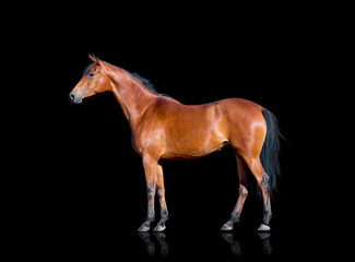 Bay horse standing on black background, isolated.