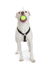 Active Dog With Tennis Ball in Mouth