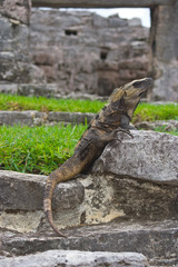 iguana resting in mayan ruins