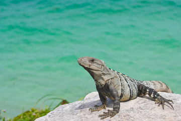 portrait of an iguana resting above the ocean