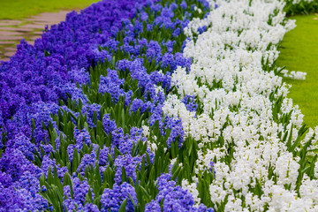 Beautiful spring flowers. hyacinths. spring garden. Colorful flo