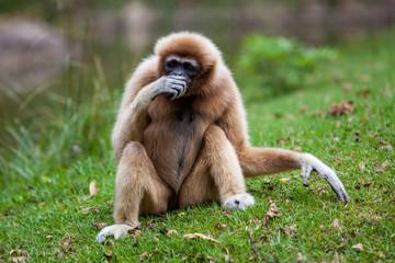 Handed Gibbon