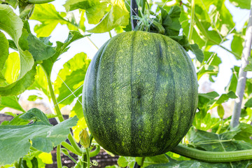 watermelon hanging  on tree in greenhouse