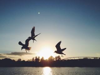 Flying birds in sunset