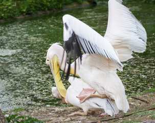 pelicans have love at the zoo