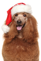 Royal poodle in Santa red hat