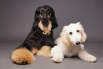 Cute afghan hound with puppy of afghan hound on gray background