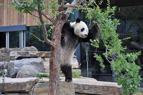Fotobehang Dragen Giant Panda standing upright. Australia, Adelaide zoo