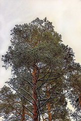 pine in the winter