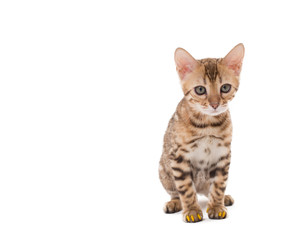 Image of Bengal cat with yellow claws caps