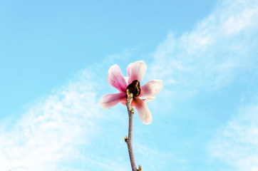 Cluse up Sakura flower