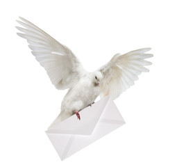 isolated dove carrying white envelope