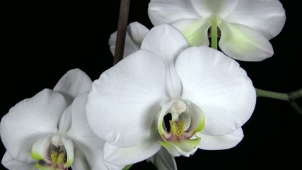 The branch of white orchid on black background