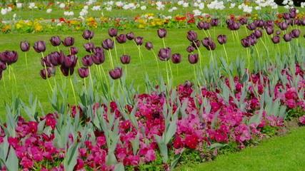 Dark purple tulips swaying in the wind.