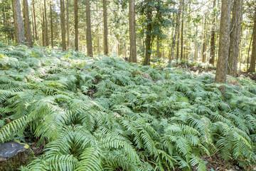 林の下に生えているシダ