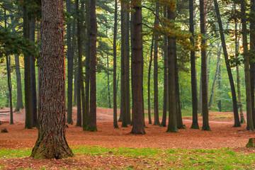 high coniferous evergreen trees, beautiful landscape