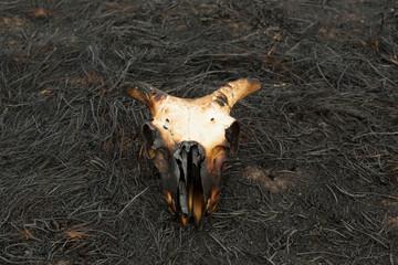 Burnt Sheep Skull