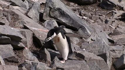 Chinstrap Penguins on Half Moon Island, Antarctica