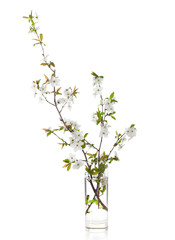 .Flowering branches of cherry  isolated on white.