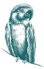 Blue parrot vector sketch