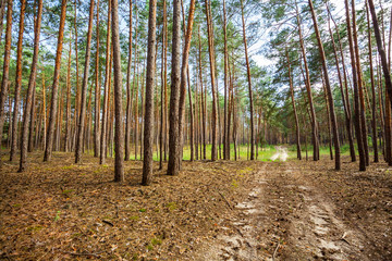 pine forest trees.