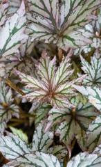 leaf bigonia