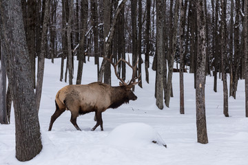 Male elk in a winter scene