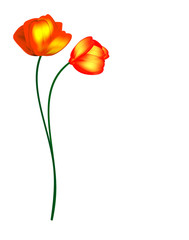 tulips flowers isolated on white background