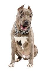 Young dog breed pitbull sitting yawning