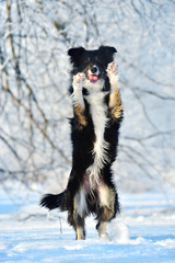 Border collie fun in winter