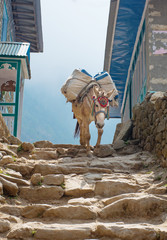 Donkey in mountains in the village,Nepal