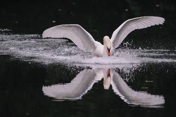 Cigno in volo 13