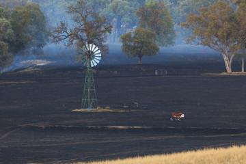 Lone Cow at Bushfire Aftermath