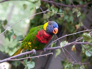 Loriquet parrot talkin