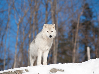 Young Arctic wolf in natural environment