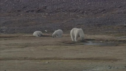 Polar Bears Norwegian Lake