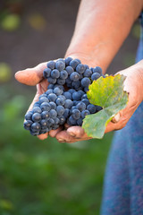 Close up of the hands of a vintner or grape farmer inspecting th