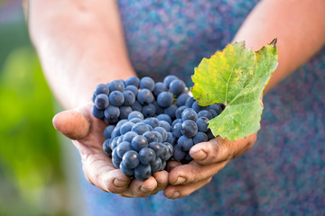 Close up of the hands of a vintner or grape farmer inspecting