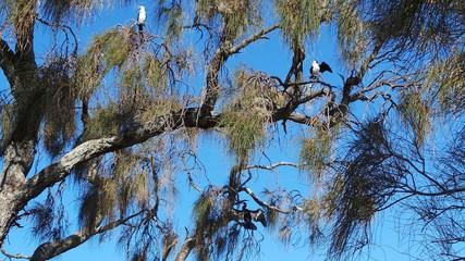Australian Pied Cormorants and Australasian Darter