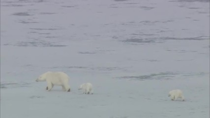Polar Bears Scavenging Norway Polar